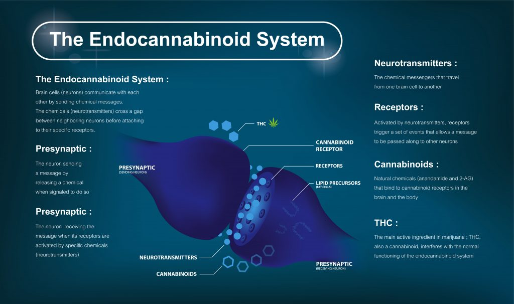 Infographic for the Endocannabinoid System, with labels and texts explaining a central diagram.